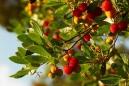 arbutus_unedo_-_vilmorin_-_strawberry_tree
